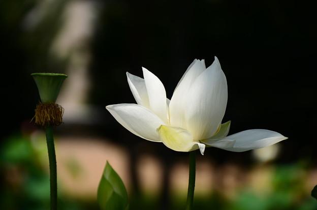 写真: 白光(ビャッコウ)