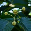 写真: 旱蓮木(カンレンボク)