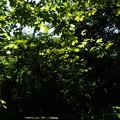 写真: 栃の葉陰