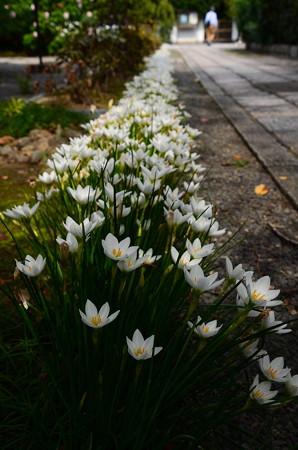 玉簾(タマスダレ)の参道