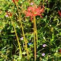 写真: 彼岸花と現の証拠と露草~