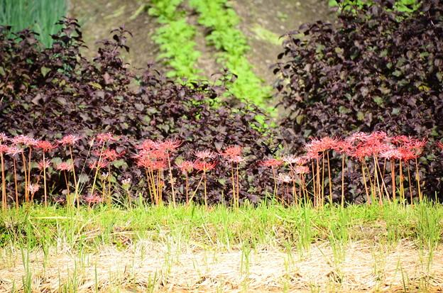 彼岸花と紫蘇の葉とナガサキアゲハ