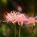 写真: 桃色彼岸花(モモイロヒガンバナ)