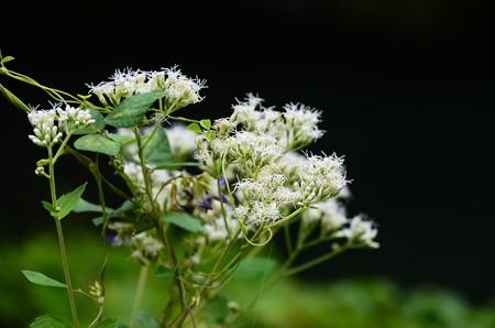 鵯花(ヒヨドリバナ)