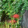 萩の中の彼岸花