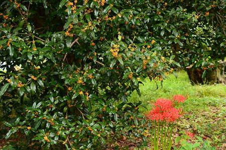 彼岸花と金木犀