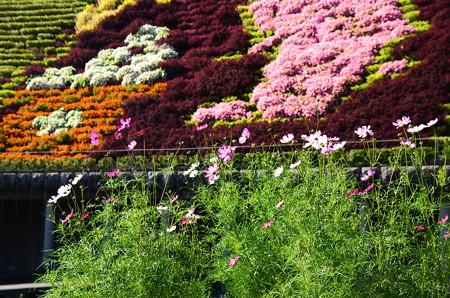 タペストリー前の秋桜