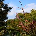 錦木の色付き