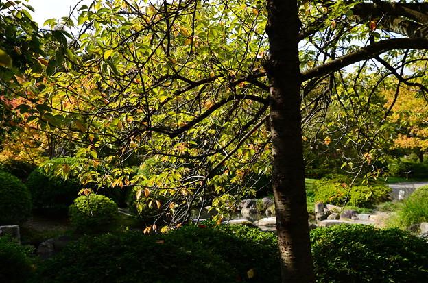 桜の葉の色付き