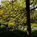 写真: 桜の葉の色付き