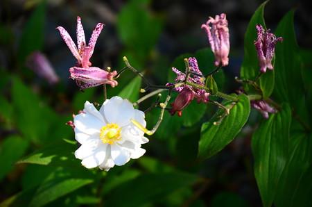 秋明菊と杜鵑