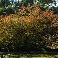 写真: 御衣黄の紅葉