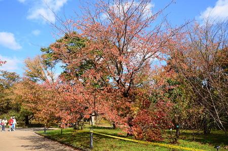 山桜の色付き