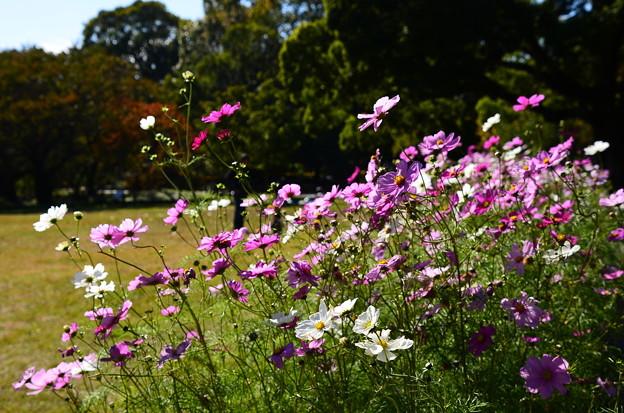 大芝生脇の秋桜