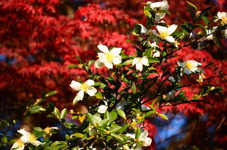 紅葉の中の山茶花(サザンカ)