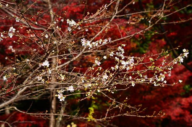 紅葉を背景に咲く四季桜(シキザクラ)