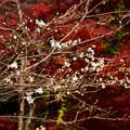 写真: 紅葉を背景に咲く四季桜(シキザクラ)