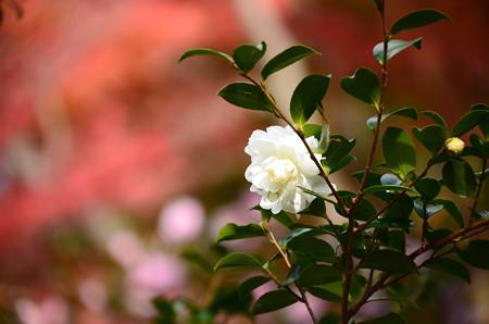 紅葉の前に咲く山茶花