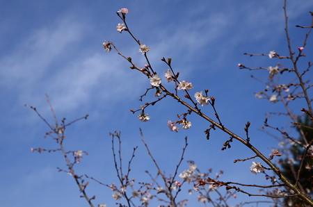 冬空の十月桜