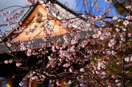 お正月の御会式桜