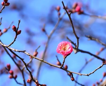 御苑の梅も咲き始めました