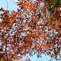 「落ちない木」 ヤマコウバシ