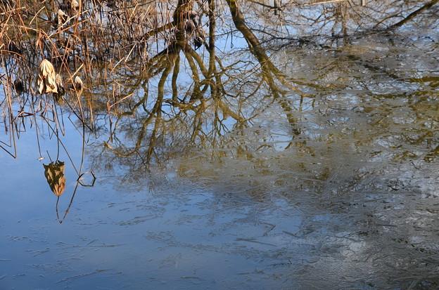 氷の残る蓮池