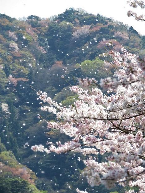 桜舞い散る(小岳城)_1341