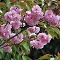 八重桜満開_1624