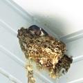ツバメ巣作り_1604