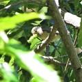 ヤマガラ幼鳥_2458