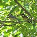ヤマガラ幼鳥2羽_2461