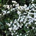 ハクチョウゲ(白丁花)_2495