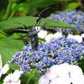 ゴマダラカミキリ&紫陽花6581