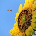 写真: ヒマワリ&蜜蜂_4624