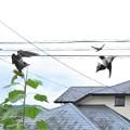 ツバメ幼鳥_4810