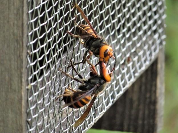 オオスズメバチのキス_6691