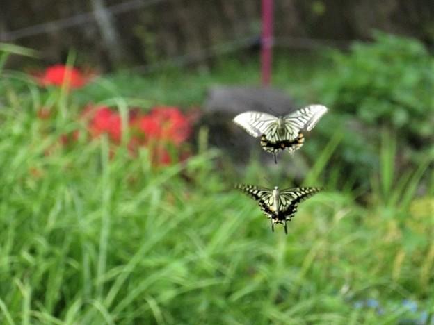 アゲハチョウのランデブー_6989