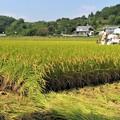 稲刈り_7811