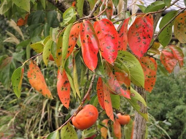 柿の葉紅葉_8049