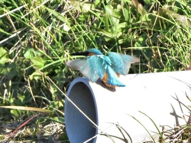 カワセミ♀若鳥_9333
