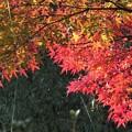 Photos: モミジ(公園)_9451