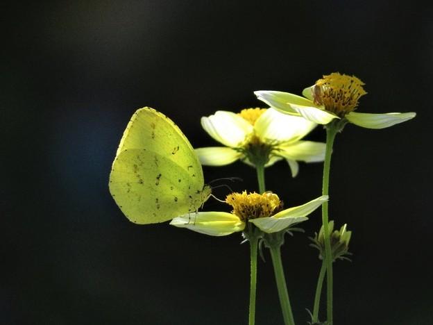 キチョウ&ウインターコスモス(庭)_0171
