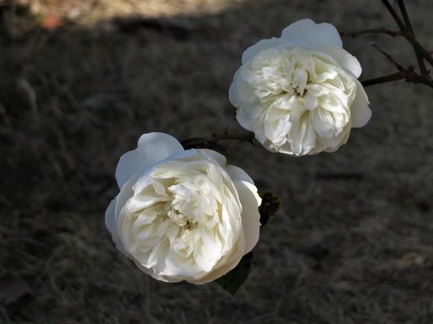 挿し木の白い薔薇(ボレロ?)_2272