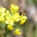 ミツバチ&菜の花_2498