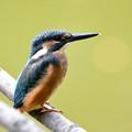 写真: 川の宝石という鳥