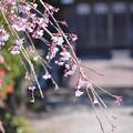 Photos: 本堂の仏のために咲く