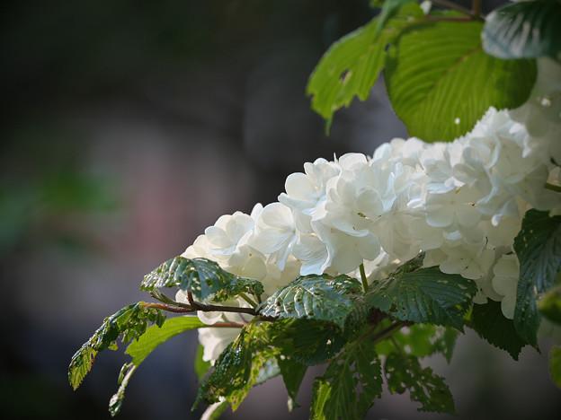 170429_板橋区・赤塚植物園_オオデマリ_G170429E5249_MZD300P_X7Ss