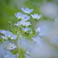 Photos: 170429_板橋区・赤塚植物園_ネモフィラ_G170429E4995_MZD300P_X7Ss
