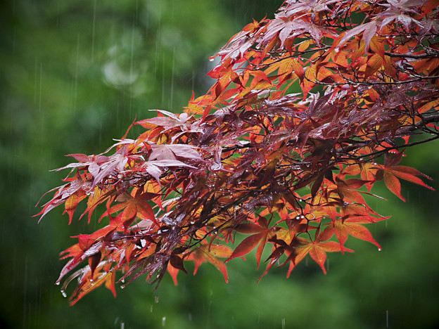 170908_箱根湿生花園_雨脚<カエデ仲間「ノムラカエデ」>_G170908J6016_MZD300P_FH_C-SG_FS2_X8Ss